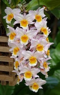 Dendrobium Farmerii - Sdl
