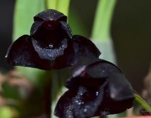 Maxillaria Schunkeana (negra) - AD