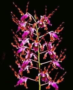 Dendrobium Lasianthera (Muda)