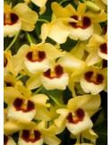 Dendrobium Gatoon Sunray (Porte Grande)