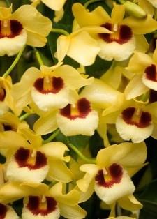 Dendrobium Gatoon Sunray