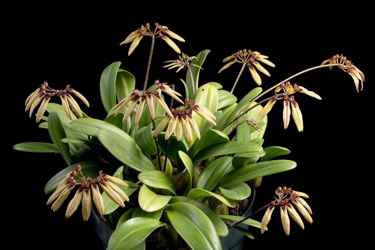 Bulbophyllum Sikkimensis