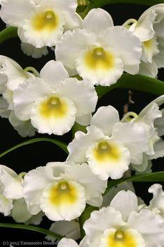 Dendrobium Nobile White (Keiki)