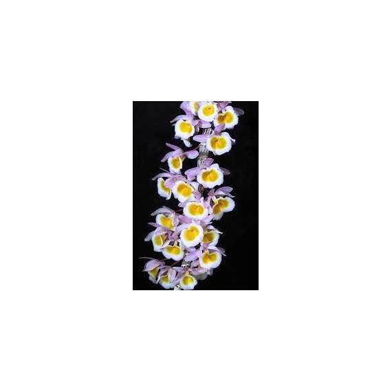 Dendrobium Primulinum - AD