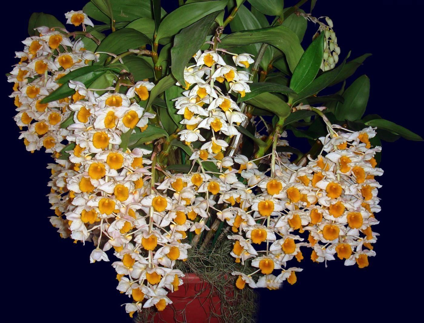 Dendrobium densiflorun var. albo-lutea