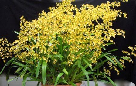 Oncidium Sphacelatum ( Haste Floral)