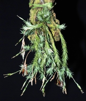 Tilandsia Tricholepsis