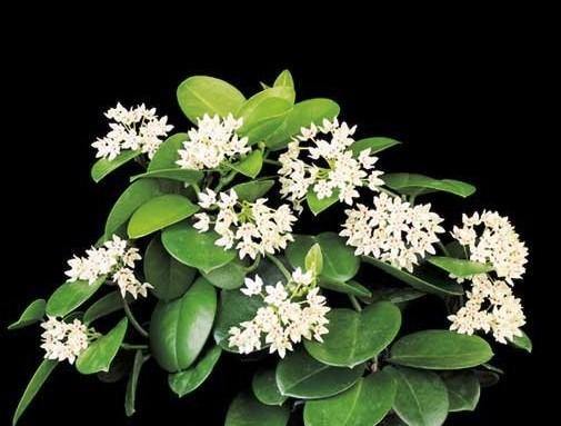 Hoya Australis