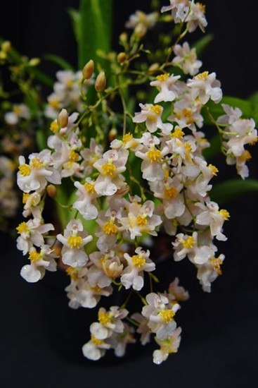 Oncidium Twinkle White Shower
