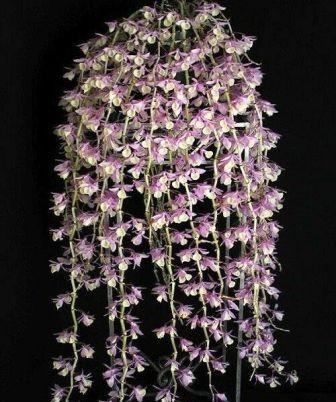 Dendrobium Aphyllum - AD