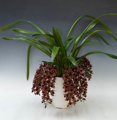 Cymbidium Dorothy - Adulto