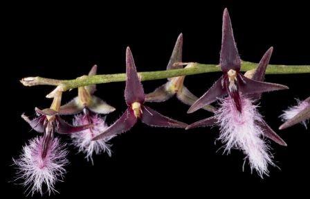 Bulbophyllum Miniatum - AD