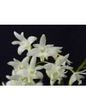 Dendrobium Kingianum Albo ( Haste Floral )