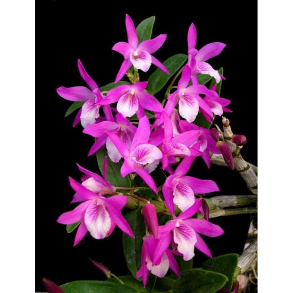 Dendrobium Stardust Pink (Em Floração)