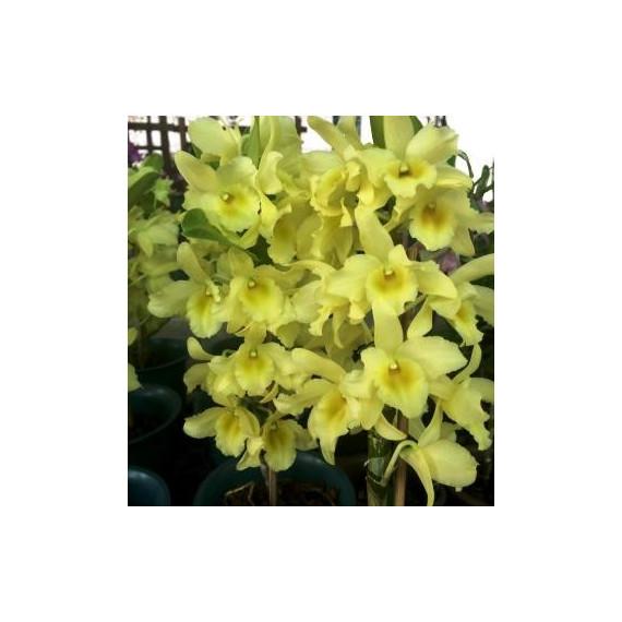 Dendrobium Yellow Song Canary ( Em Floração)