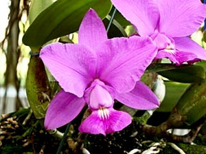 Cattleya Walkeriana Tipo ( Ida x Aranda ) - Corte