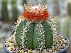 Melocactus (Coroa de Frade )
