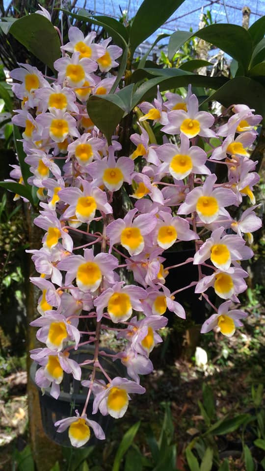 Dendrobium Rosy Cluster - NBS