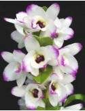 Dendrobium To my Kids - AD