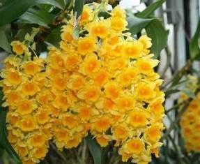 Dendrobium Crysotoxum - Sdl