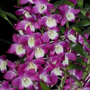 Dendrobium Hamana Lake Dream - AD