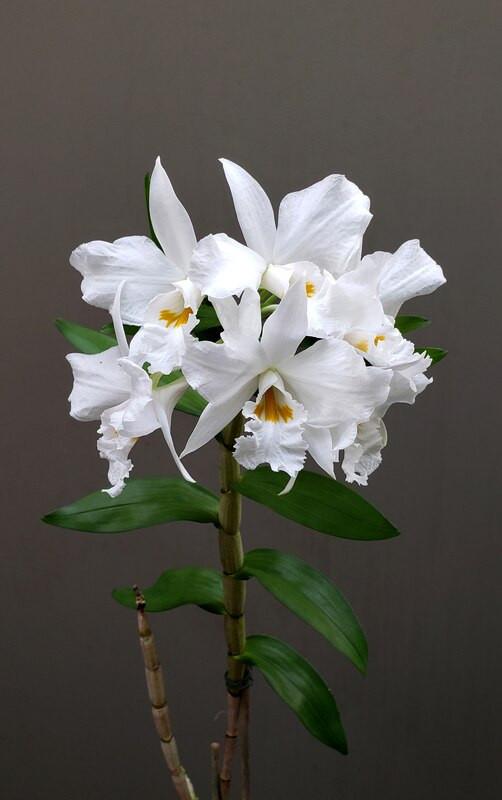 Dendrobium Infundibulum - AD