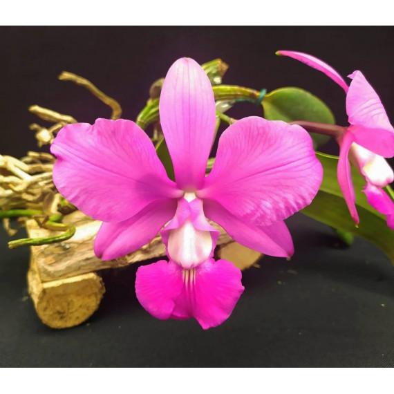 Cattleya Walkeriana (Corte)