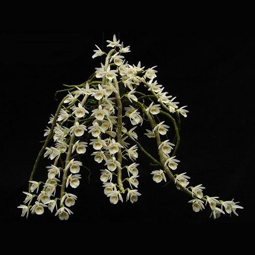 Dendrobium Cretaceum - AD