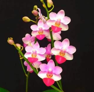 Phalaenopsis Lius Tripince - AD