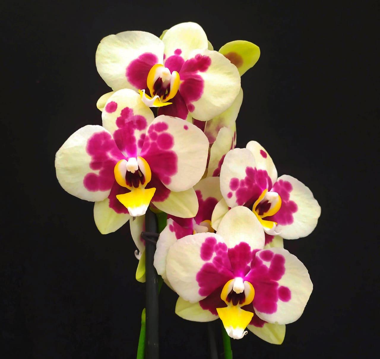 Phalaenopsis Labrum Canariae - AD