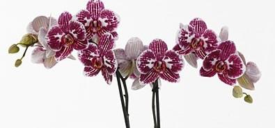 Phalaenopsis Anthura Toledo - AD