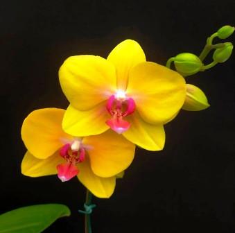 Doritaenopsis Ox Golden Star - AD