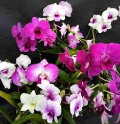 Denphal (Época de floração)