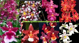 Hibridos Diversos Adultos (Época de floração)