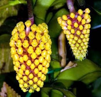 Robiquetia cerina (amarela)