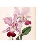 Cattleya Walkeriana Tokyo x Alba Dayane Wenzel- AD