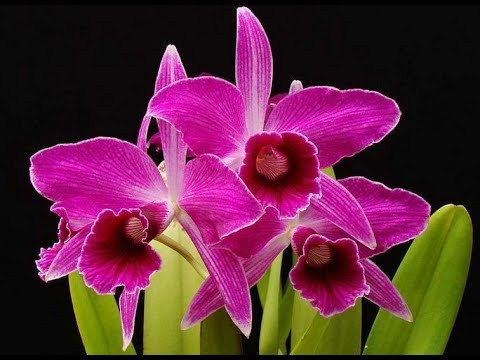 Laelia Purpurata Sanguinea - (Época de Flor)