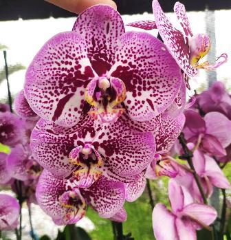 Phalaenopsis Taida Black Cat - AD