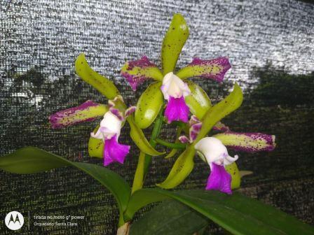 "Cattleya Tigrina Semi Alba ""Trilabelo"" - AD"