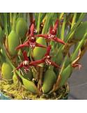 Maxillaria Tenuifolia - AD