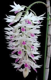 Dendrobium Amethystoglossum - Seddling