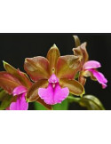Cattleya Bicolor - AD
