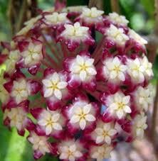 Flor de Cera ( Hoya Finlaysonii )