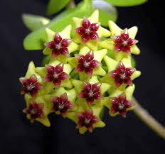Flor de Cera ( Hoya Densiflora )