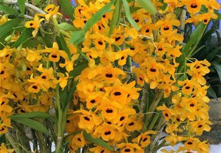 Dendrobium Fimbriatum- AD ( Grande Porte)