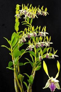 Dendrobium Stratiotes - Gigante