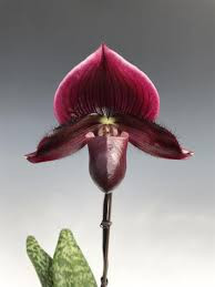Paphiopedillum Maudiae Vinicolor - Adulto