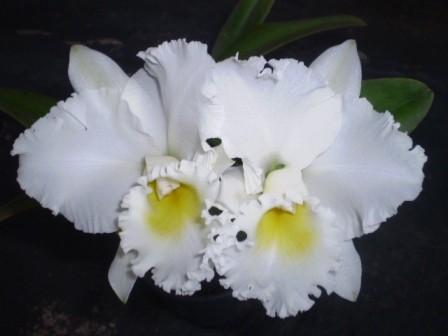 Cattleya Irma Dulce - T3