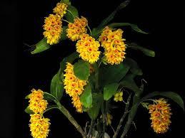 Dendrobium Sulcatum - AD