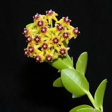 Flor de Cera ( Hoya Cumingiana )